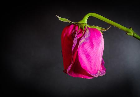 onbeantwoorde: Side shot van een enkele pink stervende roos op een zwarte lege achtergrond Stockfoto