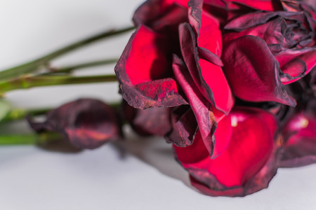 Bunch of dying red roses in closeup on a white background