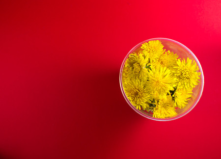 desaturated colors: Yellow blossoming dandelion flowers in close up on a cherry red background