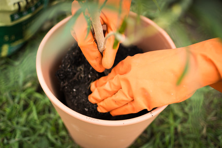 plant pot: Gloved gardener pots a houseplant in a compost plant pot Stock Photo