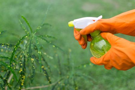 mister: Gloved gardener sprays with a mister a single houseplant