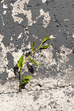 hardship: Single ivy based plant growing out of urban concrete Stock Photo