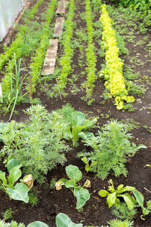 watered: Rows of carrot dill lettuce and Cabbages growing in a freshly rain watered village garden