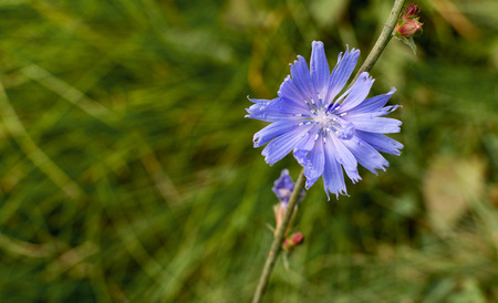 chicory coffee: Single blue chicory flower against a green vegetation background Stock Photo