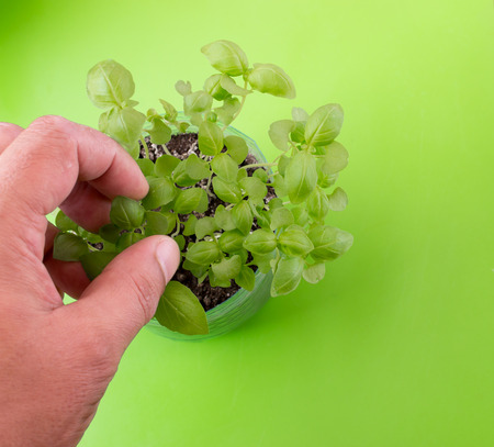 picking fingers: White male hand and fingers picking young basil leaves from a plant on a green background