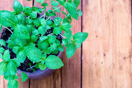 bushy plant: Closeup of a young basil plant with water droplets on a wooden plank rustic farmhouse background
