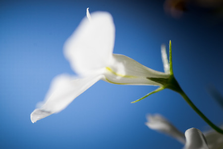 anther: Macro image of a white Lobelia against a blue sky Stock Photo