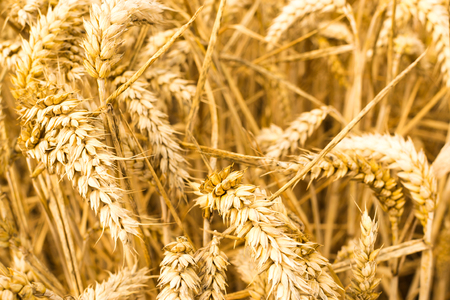 Closeup of ripe golden Grain growing in a summer wheat field background of a rich harvest idea and rural yellow colors Stok Fotoğraf