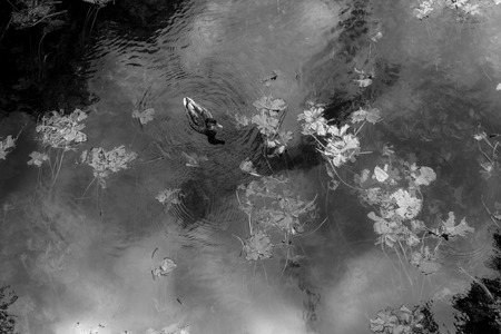 water fowl: Single Mallard Duck swims on the surface of a mist covered river covered in reeds Stock Photo