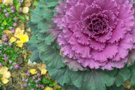 flowering kale: Pink ornamental cabbage plant grows in a spiral with bright vibrant foilage