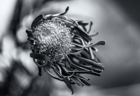 dying: Single dying purple Chrysanthemum flower in black and white