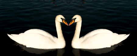 glide: Two swans form a symmetrical pattern as they swim and glide on the surface of a warm lake. Stock Photo