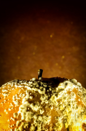 soften: Yellowing rotten apple infected with fungal spores that are casuing the frut to rot. The Penicillium expansum fungus causes the apple to soften. Stock Photo