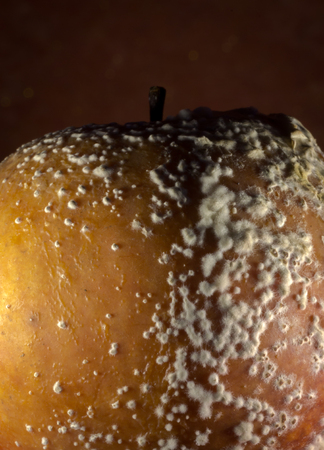 mummified: Penicillium expansum growing on the skin of an old rotting apple, often called fruit-rot.