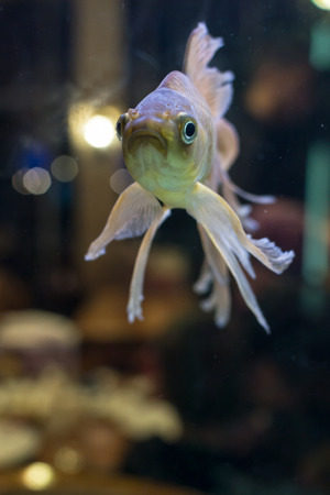 fantail: Closeup of a single fantail goldfish swimming in a fish tank