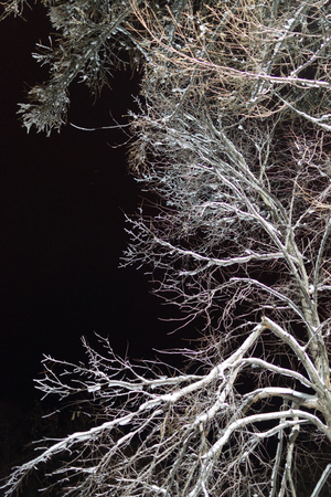 snowlandscape: Single tree in winter covered in white snow at night and illuminated by outdoor linghting