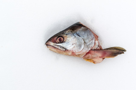 text room: Single severed head of a raw fish cut off and left on a white snow background. Copy space area for text. Room for wall abstract food ideas. Pink white and silver colours. Stock Photo