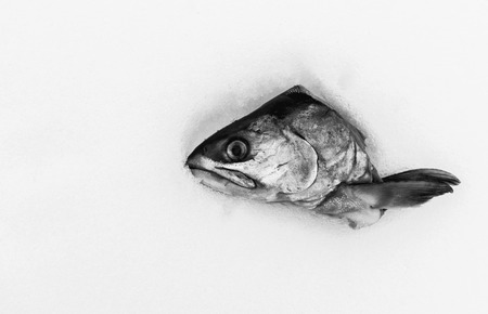 cut off head: Single severed head of a raw fish cut off and left on a white snow background. Copy space area for text. Room for wall art abstract food ideas. Black and white monochrome image