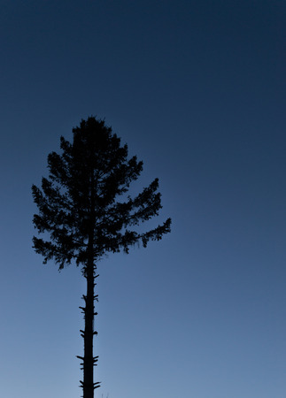 horizontal position: Single pine tree in silhouette at dusk with a midnight blue sky. copy space area in horizontal position.
