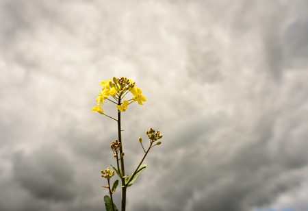 napus: Yellow rapeseed (Brassica napus) growing in a field set against a grey cloudy sky background with white clouds. Popular farming crop grown in England and Europe.