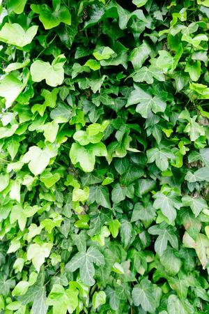abundant: Wild abundant green ivy grows up a tree trunk