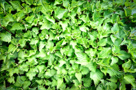 urtica: Large bunch of green stinging nettle (Urtica dioica) weeds in a flat lay perspective for gardening or health food designs.