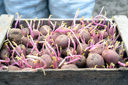 Seed potatoes with chitted stalks of fresh growth in a  rustic wooden container. Vegetable gardening image of natural spuds in a growing state.
