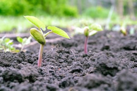garden bean: Young green seedling of a Borlotti Bean grows out of fresh brown earth in a local garden. Copy space area for vegetable gardening themes Stock Photo
