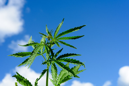 sedative: Young seven leaf cannabis plant with a blue sky background and copyspace area for text overlays. Stock Photo