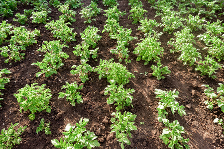 spud: Rows of green potato vegetable plants growing in a small domestic garden