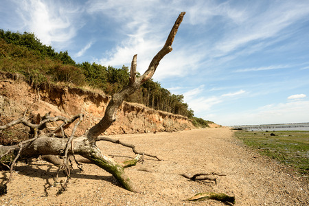 Fallen tree due to beach and cliff erosion lies on the sand at Cudmore Grove on Mersea Island in Essex England Stock Photo