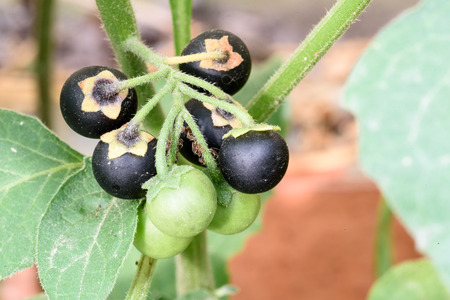 Belladonna plant with (Deadly Nightshade) with a bunch of unripe berries on the highly poisonous weed.