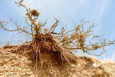 the collapsing: Eroded tree trunk and roots at a local beach. The signs of erosion have exposed the roots to the sky.