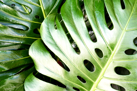 Close up of leaf structure of a Swiss Cheese Plant (Monstera deliciosa) in lush green colour