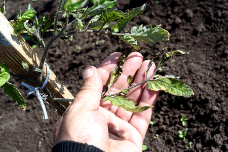 Male hand inspects a windblown tomato plant in a garden damaged from strong winds. Leaf tips are crisp and destroyed by gales. Stock Photo
