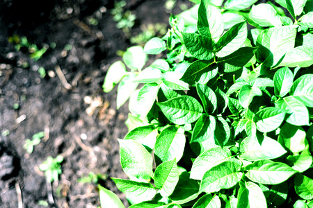 intentional: Fresh green organic potato plant growing in a farm or garden field with intentional focus blur