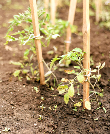 Tomato plants damaged by strong wind with brown windscorched leaves Stock Photo