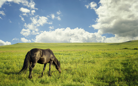 Black mare tethered to a rope grazes on a fresh green grass pasture under a summer sky