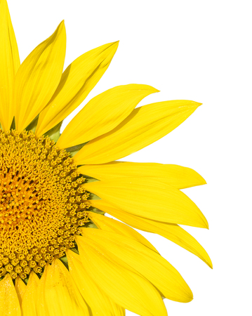 Single partial bright vibrant yellow sunflower on a white background