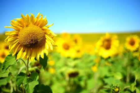 Rows of sunflowers in bright summer sunshine with a defocused background. Landscape format with copyspace area for flower floral overlays and banners. Stock Photo