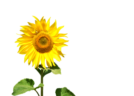 Single isolated bright yellow sunflower with green leaves and a white background with copyspace area for floral or gardening based themes and concepts.