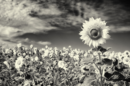 Black and white sunflower in a field with summer sky and clouds with defocused sunflowers in the background Stock Photo
