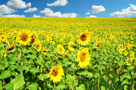 Field of many sunflowers and a blue summer sky with clouds in daylight in horizontal landscape composition