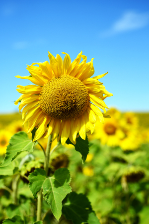 Large sunflower in closeup with a field of defocused sunflowers and a blue summer sky