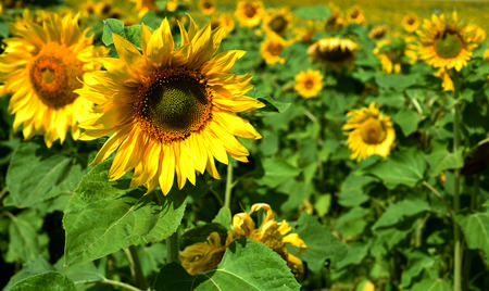 Yellow sunflowers background in natural sunlight growing wild in nature with green leaves