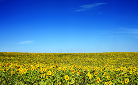 Landscape background of a field of sunflowers with a bright blue summer sky. Copyspace area for floral summertime designs and backgrounds.