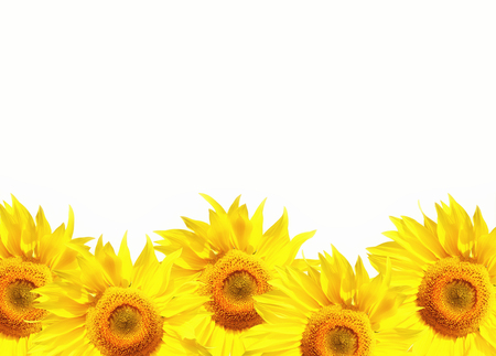 Isolated bright yellow sunflowers with a white background with copyspace area for text  for floral botany summer based designs and ideas Stock Photo