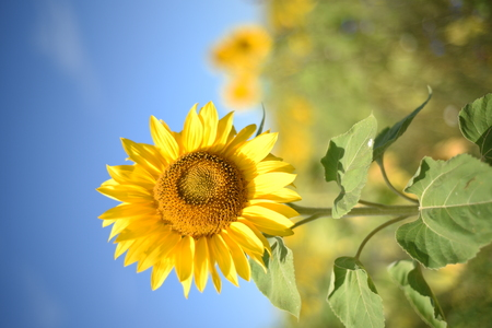 Yellow sunflower plant in summer with background of other defocused wild flowers Stock Photo