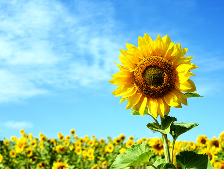 Yellow sunflower background with wild flowers growing in a field in nature. Natural sunlight in a  landscape format and design.