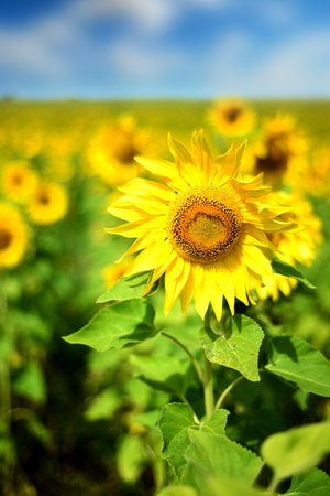Field of wild yellow sunflowers in nature in vertical composition with blue sky and white clouds